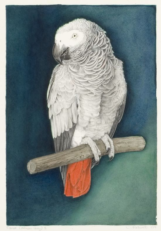 Click the image for a view of: Colin Richards. Parrot (African Grey) I. Triptych middle panel (detail). 2009. Watercolour. Image 319X219mm